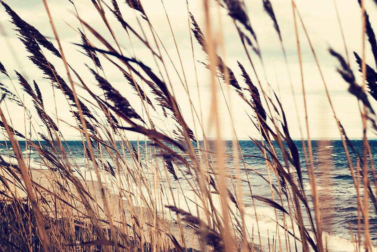 Sea oats in the summer wind. Travel conc
