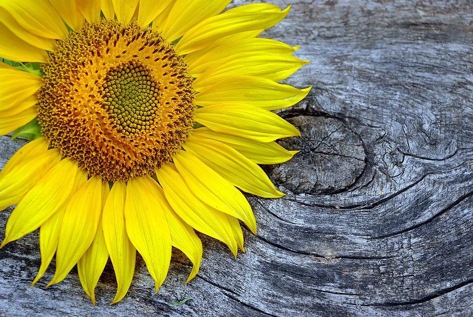 bigstock-Sunflower-Flower-On-A-Wooden-T-