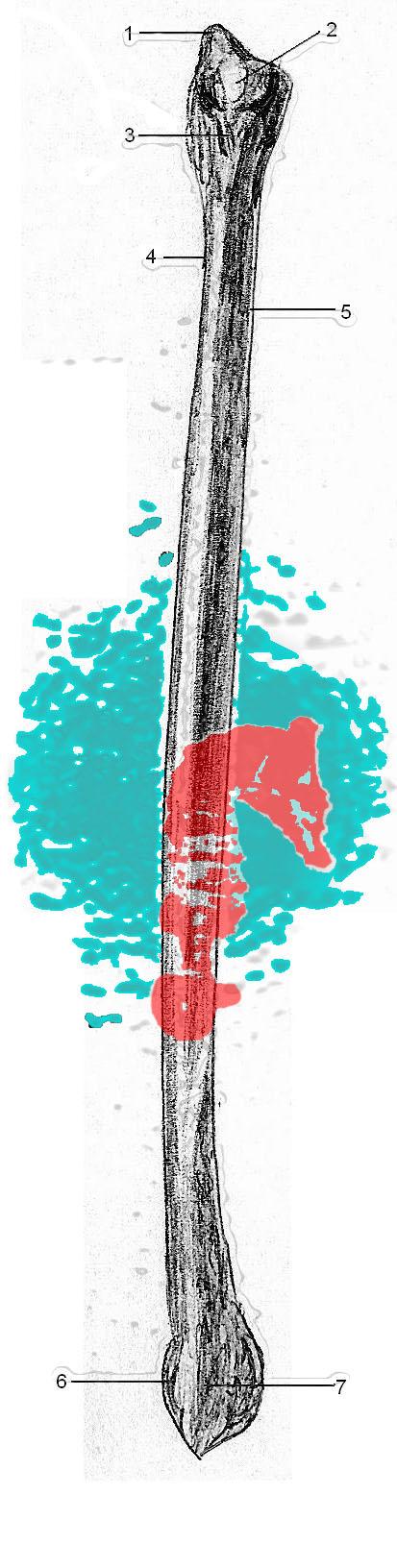Seahorse fibula
