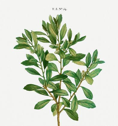 Inkberry Leaf (Ilex Glabra)