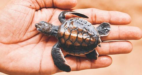 kosgoda-turtle-hatchery-1472634844.jpg