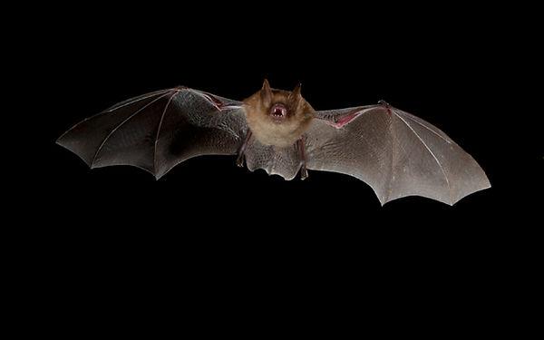 pipistrelle 3.jpg