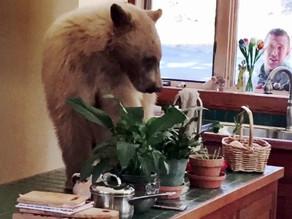 Orso sfonda la porta di una casa al Lago... (video).
