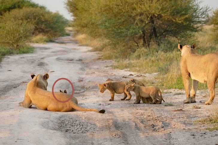 leone volpe serengeti