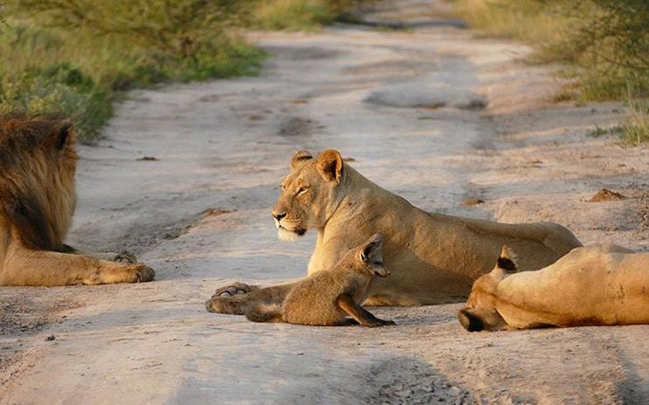 volpe leone cuccioli