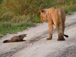 Volpe ferita: catturata dai leoni, ma è successo un fatto imprevedibile IT EN FR (16 foto)