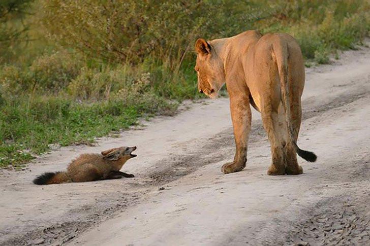 leonessa e volpe serengeti