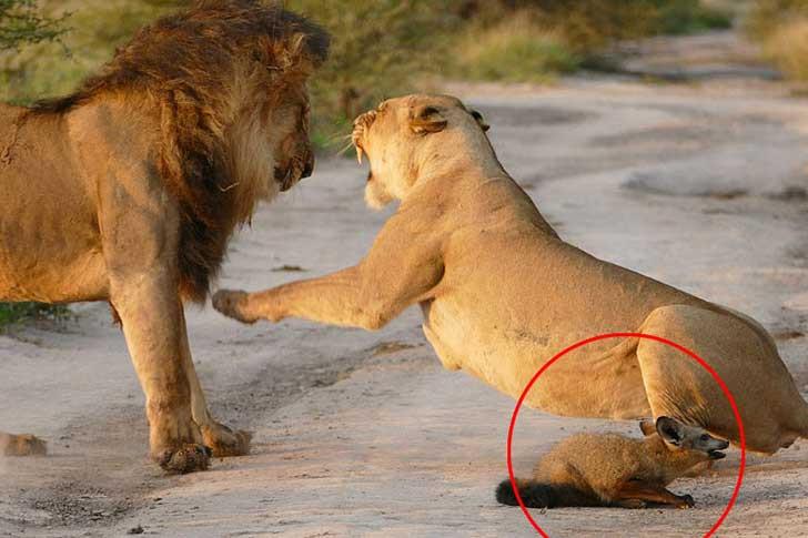 leonessa litiga con leone