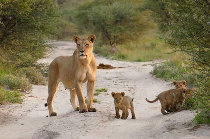 leonessa protegge volpe da sciacalli