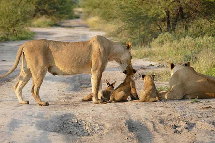 famiglia di leoni e volpe