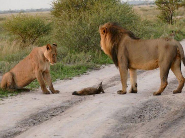 leone leonessa volpe