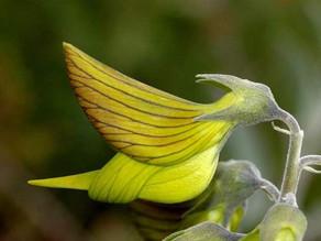 il crotalaria cunninghamii il fiore che ha la forma di un colibrì. (video)