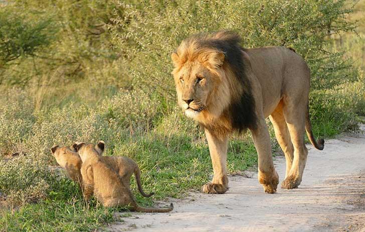 leone con cuccioli