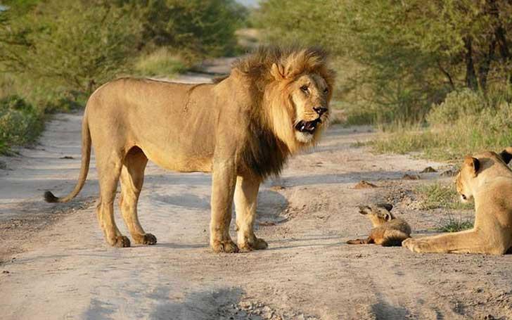 leone ruggente