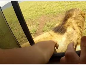 Non dovresti mai e poi mai tentare di accarezzare un leone - IT EN (video)
