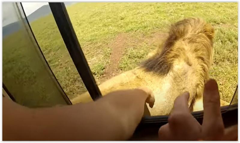 Cercano di accarezzare leoni nel parco di serengeti,corsi di inglese, corsi di francese, lezioni di inglese, lezioni di francesescuola di lingua a monza,