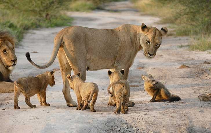 leone volpe cuccioli serengeti