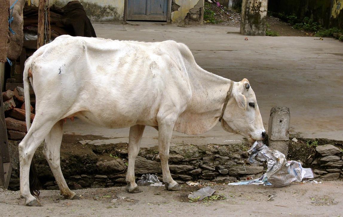 Cow eating newspaper.jpg
