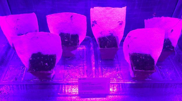 Hemlock Prepped for planting..jpg
