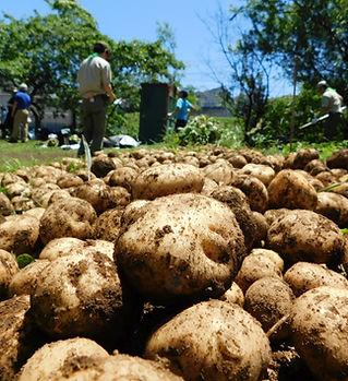 ジャガイモ収穫祭 (2).jpg