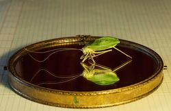 Grasshopper Narcissus