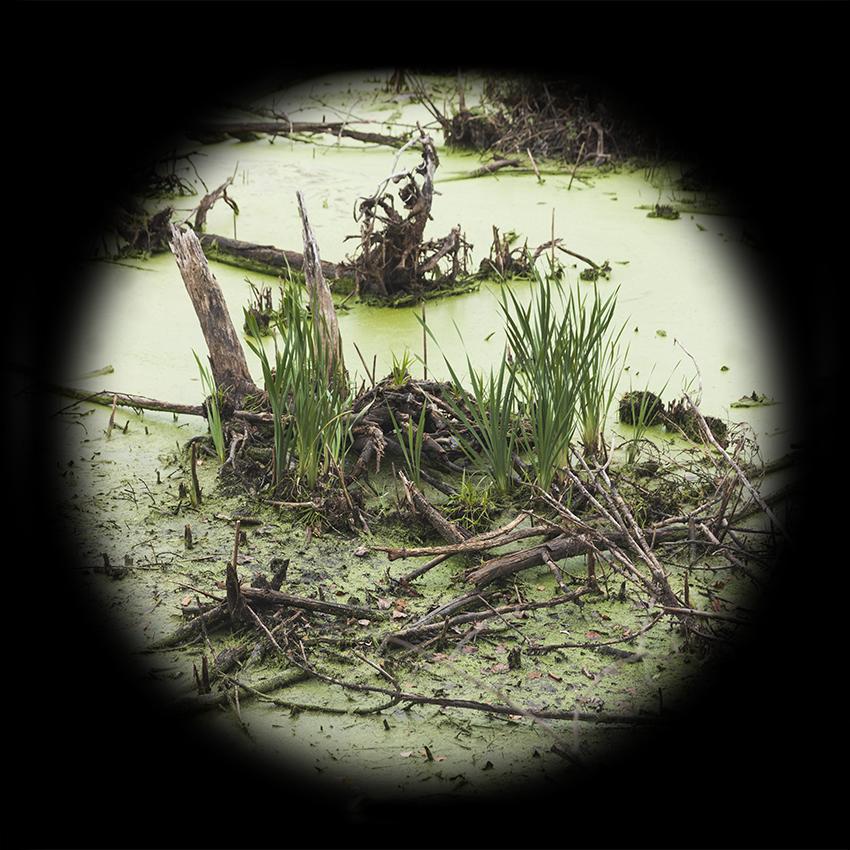 Boxboro Duckweed