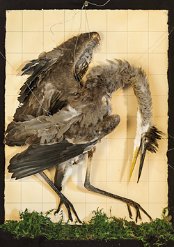 Method of Squares (Great Blue Heron)