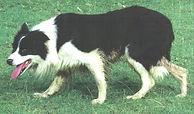 Ben Of Killiebrae (ISDS 220939).jpg
