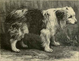 bobtailed collie