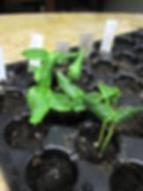 cucumber transplanting