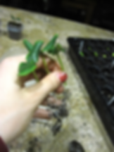 cucumber transplanting, plant transplantig