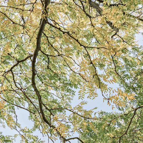 Autumn Locust, Benson IL