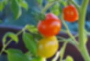 bush-tomatoes-876963_1920.jpg