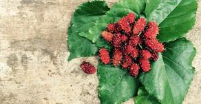 Mulberry : A safe alternative for skin brightening
