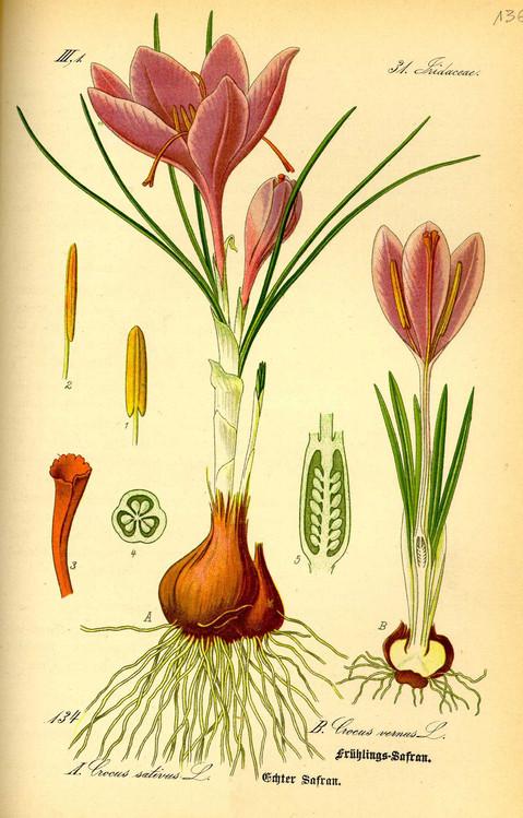 Disegno pianta di zafferano
