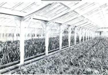 観葉植物生産農場 昭和初期