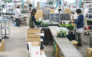 観葉植物の梱包出荷作業