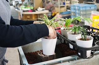 観葉植物(ハイドロカルチャー)の陶器への植え込み