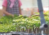 観葉植物 生産