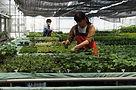 ハイドロカルチャー 農場作業