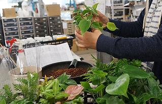 観葉植物の品質チェック