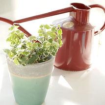 観葉植物 水やり ハイドロカルチャー