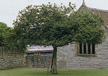 Holy Thorn Tree