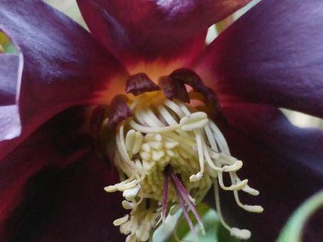 Black Hellebore (helleborus niger)