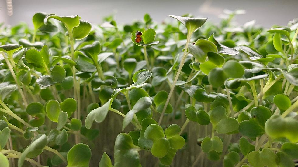 Broccoli - Waltham