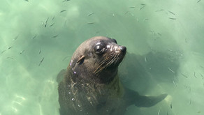An update: The Seals of Warnambool VS The Seals of Narooma.