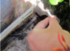 Tagging a Green Sea Turtle