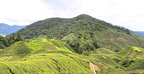 The Six Most Important Things To Do In The Cameron Highlands. A Dark Side To Being A Tourist.