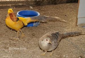 Golden Pheasants Pair