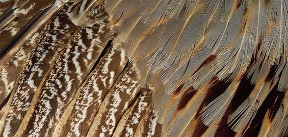 Buckeye Birds